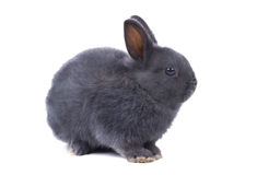 Graues flaumiges zwergartiges Kaninchen sitzt auf weißem Hintergrund Getrennt Lizenzfreie Stockfotografie