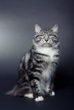 Graues gestreiftes bobtail Kätzchen auf dunklem Hintergrund Stockfoto