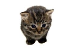 Graues gestreiftes Kätzchen des netten Sitzens auf Weiß. Lizenzfreies Stockfoto