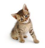 Graues gestreiftes Kätzchen, sittin Stockfotos