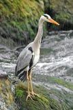 Graues Heron_1 Stockbild