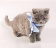 Graues Kätzchen Lizenzfreies Stockbild