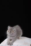 Graues Kätzchen Stockbild