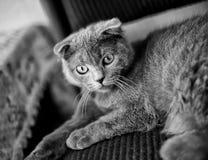 Graues Kätzchen Lizenzfreie Stockfotos