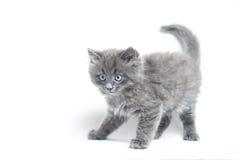 Graues Kätzchen Lizenzfreie Stockbilder