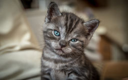 Graues Kätzchen Lizenzfreies Stockfoto