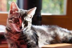 Graues Kätzchen lizenzfreie stockfotografie