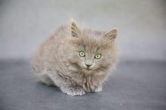Graues Kätzchen Stockfotos