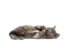 Graues Kätzchen, das auf weißem Hintergrund niederlegt Lizenzfreies Stockfoto