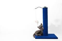 Graues Kätzchen, das mit einem löschenden Pfosten spielt Lizenzfreies Stockfoto