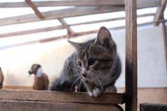 Graues Kätzchen, das oben in der Hürde mit den Ziegen am Bauernhof sitzt stockfotografie