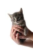 Handvoll des Kätzchens Stockfoto