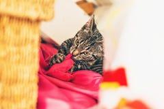 Graues Kätzchen der getigerten Katze, das auf rotem Kissen liegt Stockfotografie