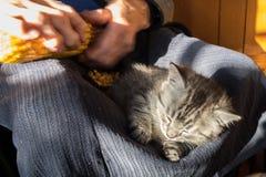 Graues Kätzchen der getigerten Katze, das auf Schoss der alten Frau schläft, während sie einen Maiskolben säubert Landwirtschaftl stockbilder