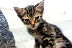 Graues Kätzchen Smal auf weißem Hintergrund lizenzfreies stockbild