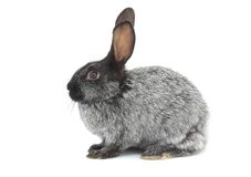 Graues Kaninchen Stockfoto