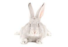 Graues Kaninchen Lizenzfreies Stockfoto