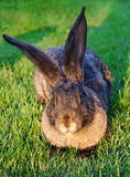 Graues Kaninchen auf dem Gras in den Strahlen der Sonne Lizenzfreie Stockfotos