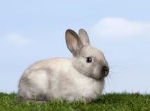 Graues Kaninchen auf Gras Lizenzfreies Stockfoto