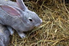 Graues Kaninchen auf trockenem Gras Lizenzfreie Stockfotos