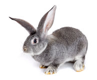 Graues Kaninchen auf weißem Hintergrund Stockbild