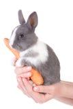Graues Kaninchen mit Karotte in der Hand Lizenzfreies Stockfoto