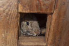 Graues Kaninchen schaut aus seinem Holzhaus heraus stockbild