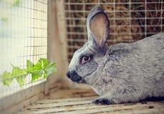 Graues Kaninchen und Blatt eines Löwenzahns Lizenzfreies Stockfoto