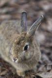 Graues Kaninchenporträt Stockfoto