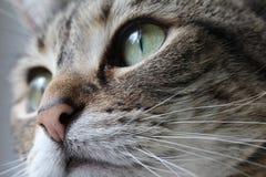 Graues Katze-Makro Lizenzfreies Stockbild