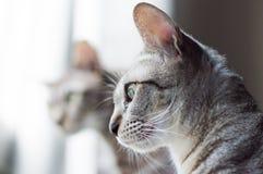 Graues Katzen ` s, das aus dem Fenster mit interessiertem Gesicht heraus schaut Lizenzfreie Stockbilder