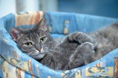Graues Katzenlügen stockfoto
