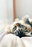 Graues Katzenlügen Lizenzfreies Stockbild