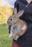 Graues kleines Kaninchen Stockfoto