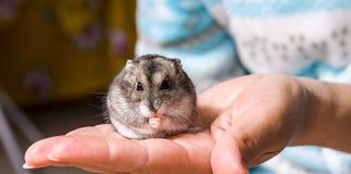 Graues Makro des grauen zwergartigen Hamsters, Stände haarig, Pelz, Stockfotografie