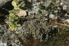 Graues Moos auf dem Felsen im Sommerwald lizenzfreies stockbild