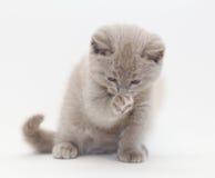 Graues nettes kleines Kätzchen Briten-Lächeln Stockfoto