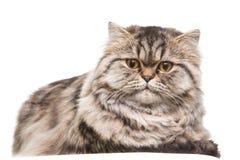 Graues persisches Kätzchen, das auf getrenntem weißem Weiß liegt Stockbild