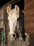 Graues Pferd stockfotos