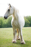 Graues Pferd Lizenzfreie Stockfotografie