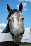 Graues Pferd Lizenzfreies Stockfoto