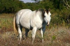 Graues Pferd Stockbilder
