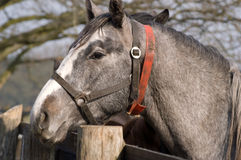 Graues Pferd Lizenzfreie Stockfotos