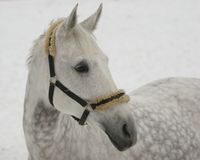 Graues Pferd auf Schnee Lizenzfreies Stockbild