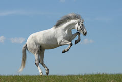 Graues Pferd, das auf Gras spielt Stockbild