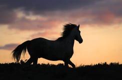 Graues Pferd, das auf Hügel auf Sonnenuntergang läuft Lizenzfreie Stockfotos