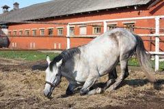 Graues Pferd, das sich aus den Grund hinlegt Lizenzfreies Stockbild