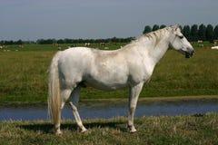 Graues Pferd, grüne Weide Lizenzfreie Stockbilder