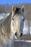 Graues Pferd im Winter lizenzfreie stockbilder