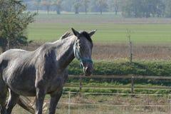Graues Pferden-Portrait lizenzfreies stockfoto